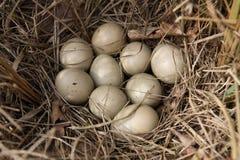 Eieren van fazant Stock Afbeeldingen