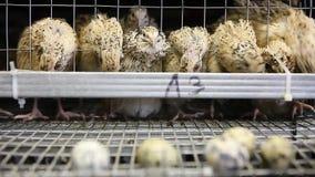 Eieren van kwartels in kooien bij gevogeltelandbouwbedrijf stock video