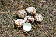 Eierlegenvögel Lizenzfreies Stockbild