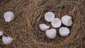 Eierschaal in een nest stock videobeelden
