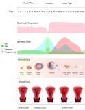 Eierstok en Baarmoedercyclus Royalty-vrije Stock Afbeelding