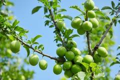 Eierstok van kers-pruim fruit op een tak stock foto
