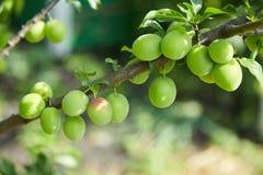 Eierstok van kers-pruim fruit op een tak stock foto's