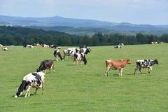 Eifel w Niemcy z krowami Zdjęcia Royalty Free