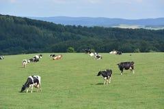 Eifel w Niemcy z krowami Fotografia Stock