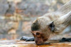 Eifersüchtiger Affe Stockbild