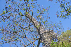 Eiffel Tower behind the tree with kidneys Royalty Free Stock Photography