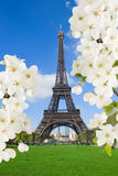 Eiffel Tower with  blossoming tree, France Royalty Free Stock Images