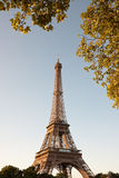 Eiffel tower in the morning. Eiffel tower in the early morning with golden branches of nearby tree royalty free stock image