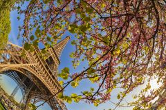 Eiffel Tower with spring tree in Paris, France Royalty Free Stock Images