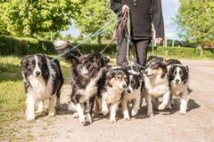 Eigenaar met vele honden op een leiband Heel wat boerdercollies royalty-vrije stock foto