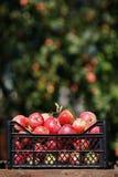 Eigengemaakt fruit: een vakje hoogtepunt van rijpe appelen met ruimte voor tekst royalty-vrije stock afbeelding