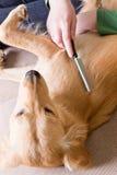 Eigentümer, der ihren Hund kämmt Stockbild