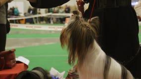 Eigentümer zieht nettem Yorkshire Terrier eine Festlichkeit an der Hundeausstellung, Zucht- Haustier ein stock video footage