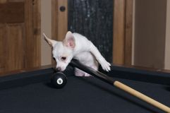 Eight ball in the corner. Puppy checking out the eight ball in the corner pocket Royalty Free Stock Photo