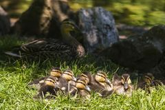 Eight cute brown and yellow Mallard ducklings lying in grass huddling together. In the sun with their mother resting in the shade in the background, Outremont Stock Image