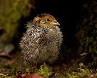 Eight days old quail, Coturnix japonica.....photographed in nature. Breed by hoby growers in Sweden. The Japanese quail, Coturnix japonica, is a species of Old stock photos