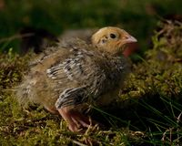 Eight days old quail, Coturnix japonica.....photographed in nature. Breed by hoby growers in Sweden. The Japanese quail, Coturnix japonica, is a species of Old royalty free stock photo