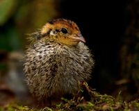 Eight days old quail, Coturnix japonica.....photographed in nature. Breed by hoby growers in Sweden. The Japanese quail, Coturnix japonica, is a species of Old royalty free stock images