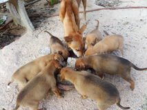Stray dog. Eight dogs eating for life.Some stray dog in the world can eat some milk or junk food from human.In photo Female dog and 7 sons eating rice with junk Stock Photos