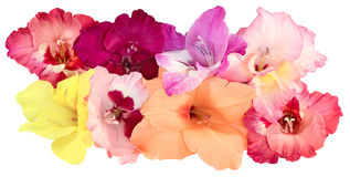 Eight flower buds of gladiolus Stock Photos