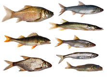 Eight freshwater fishes collection Stock Photos