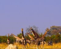 Eight giraffes standing at waterhole at Savuti Game Reserve. The giraffes are very cautious at the waterhole - looking for any danger. This is their natural stock images