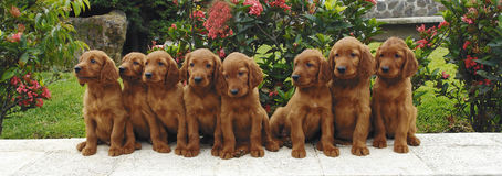 Eight irish setter puppies Royalty Free Stock Photography
