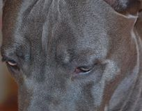 Eight month old cane corso italian mastiff eyelashes Stock Photography