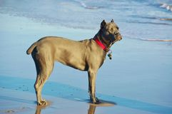 Eight month old cane corso italian mastiff on shore Stock Images