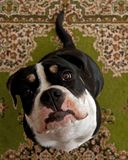 Eight months puppy of Old English Bulldog, in a close-up. Of head with a funny expression royalty free stock photography