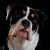 Eight months puppy of Old English Bulldog, in a close-up. Of head in studio royalty free stock image