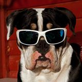 Eight months puppy of Old English Bulldog, in a close-up. Of head in sunglasses with a funny expression royalty free stock image