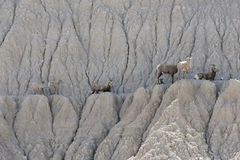 Eight mountain goats resting on ledge Stock Image