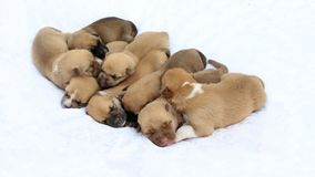 One-week-old cute brown puppies. Eight one-week-old New Guinea Singing Dog mix puppies with unique white markings sleep happily together on a soft white blanket royalty free stock photos