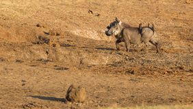 Eight oxpeckers sitting on a warthog, Namibia royalty free stock photography