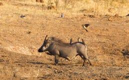 Eight oxpeckers sitting on a warthog, Namibia stock photos