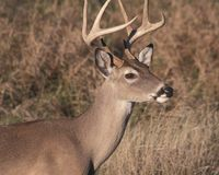 Eight point buck Stock Photo