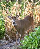 Eight Point Trophy Whitetail Deer Stock Images