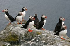 Eight puffins Royalty Free Stock Images