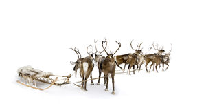 Eight reindeers Royalty Free Stock Images