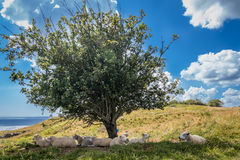 Eight 8 sheep lay in the shadow of a tree in the summer sun, blue sky, few clouds, one tree, 2017 Royalty Free Stock Photography