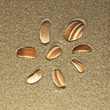 Eight shells in the sand Stock Images