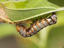 Eight-spotted Forester caterpillar. On a leaf Stock Photo