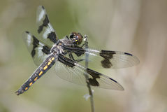 Eight-spotted Skimmer. An Eight-spotted Skimmer, an attractive dragonfly Stock Photos