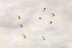 Eight Terns Over Minsmere Stock Photo