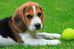 Eight week old Beagle puppy. With tennis ball playing on the grass royalty free stock images