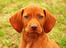 Eight weeks old puppy Hungarian vizsla portrait. In the nature Stock Image