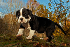 Eight weeks old puppy Old English Bulldog. Eight weeks old tricolor puppy Old English Bulldog Stock Image