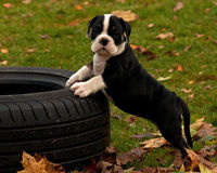 Eight weeks old puppy Old English Bulldog Stock Image